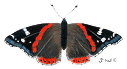 Red Admiral Buttrerfly